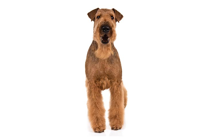 Airedale Terriers pet insurance