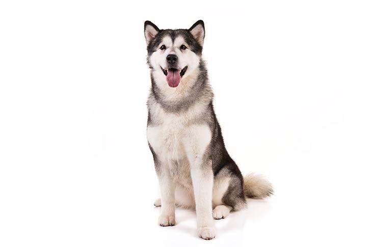 Alaskan Malamutes pet insurance