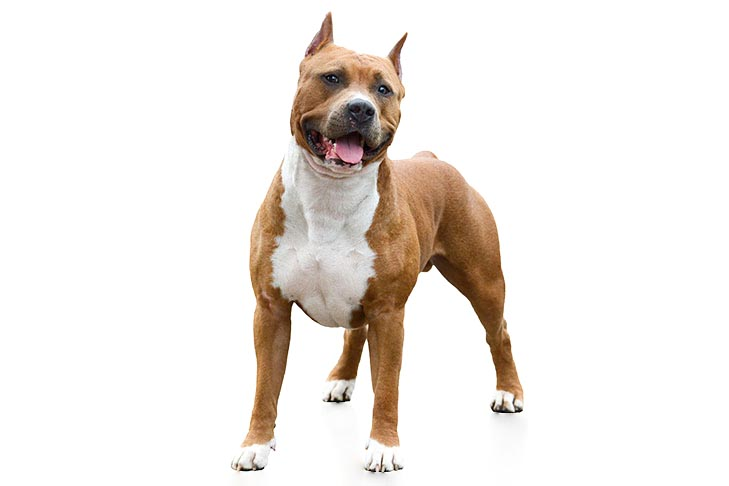 American Staffordshire Terriers pet insurance