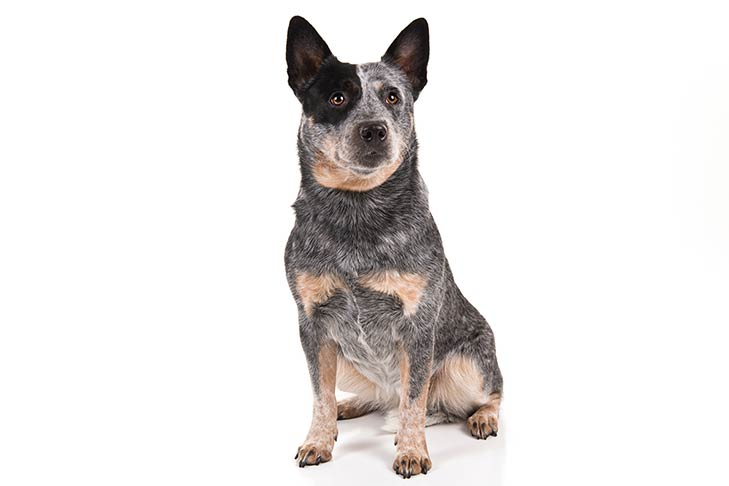 Australian Cattle Dogs pet insurance