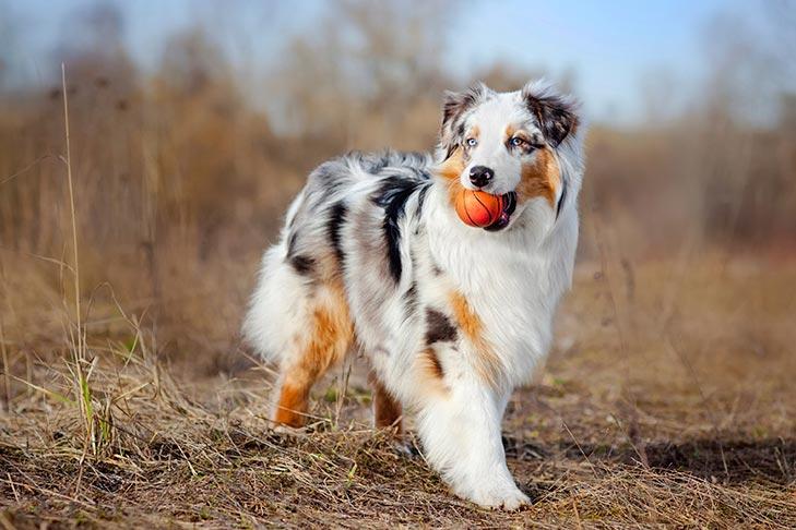 Australian Shepherds pet insurance