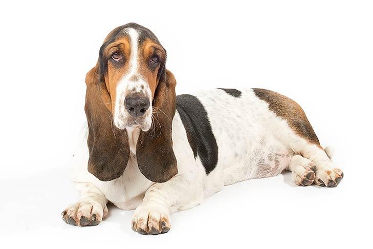 Basset Hounds pet insurance