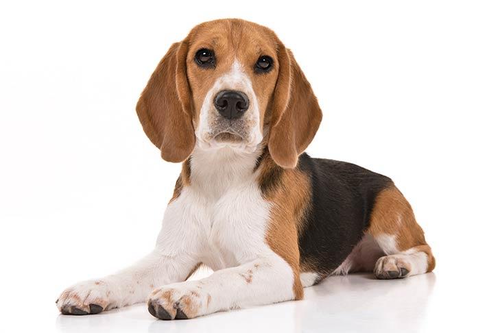 Beagles pet insurance
