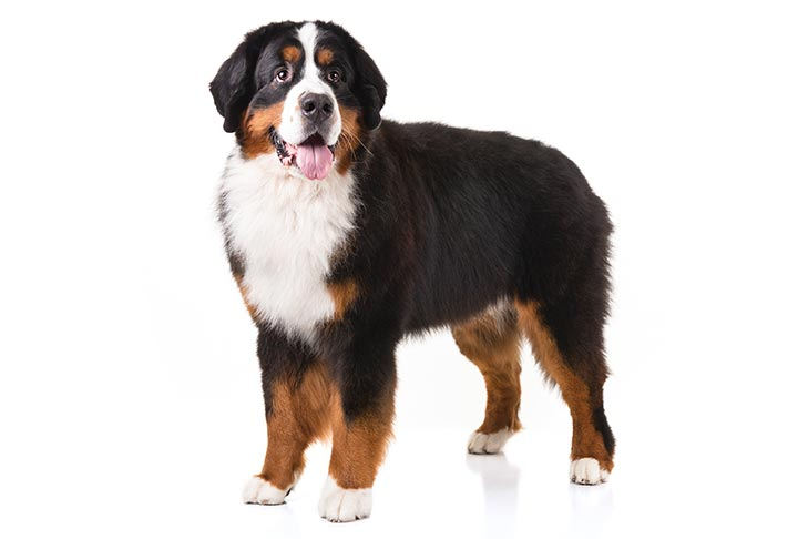 Bernese Mountain Dogs pet insurance