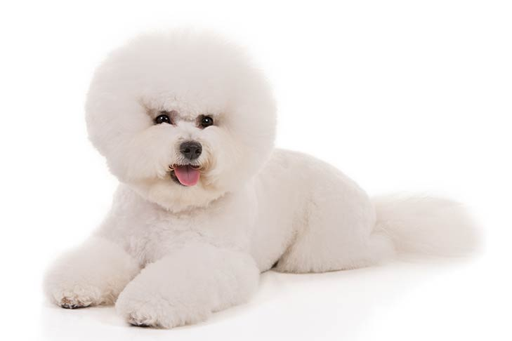 Bichon Frises pet insurance