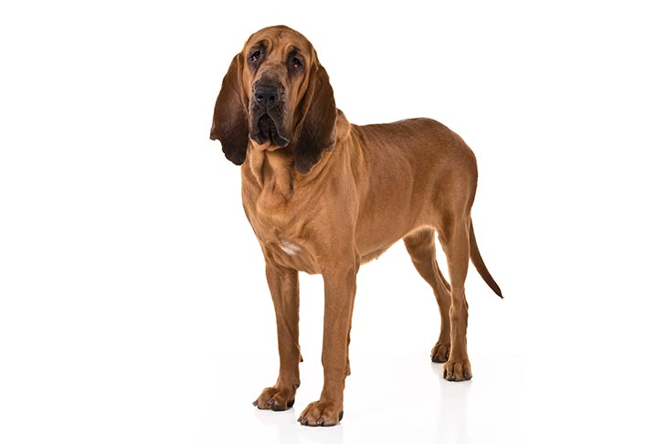 Bloodhounds pet insurance