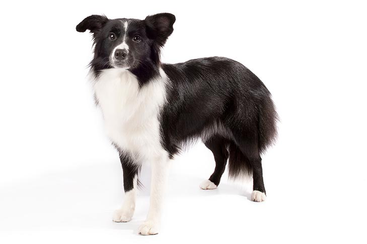 Border Collies pet insurance