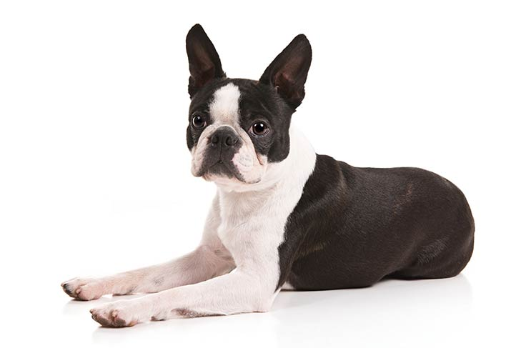 Boston Terriers pet insurance