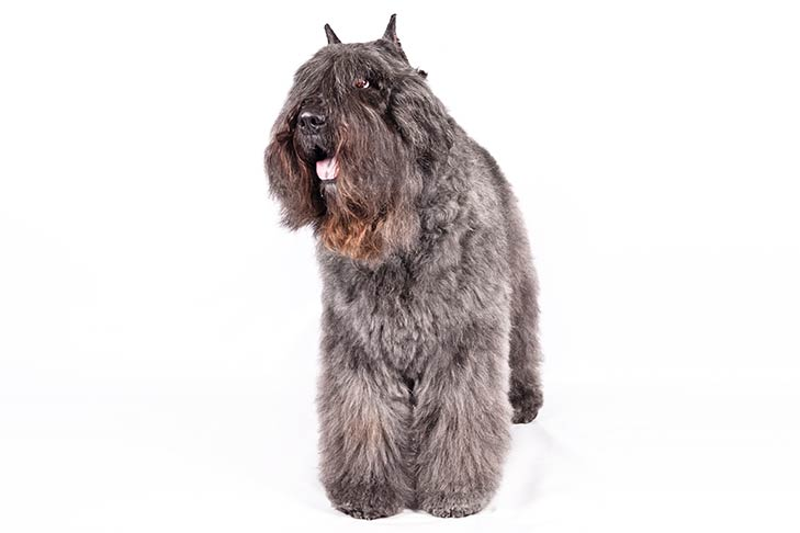 Bouvier des Flandres pet insurance