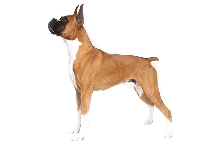 Boxers pet insurance