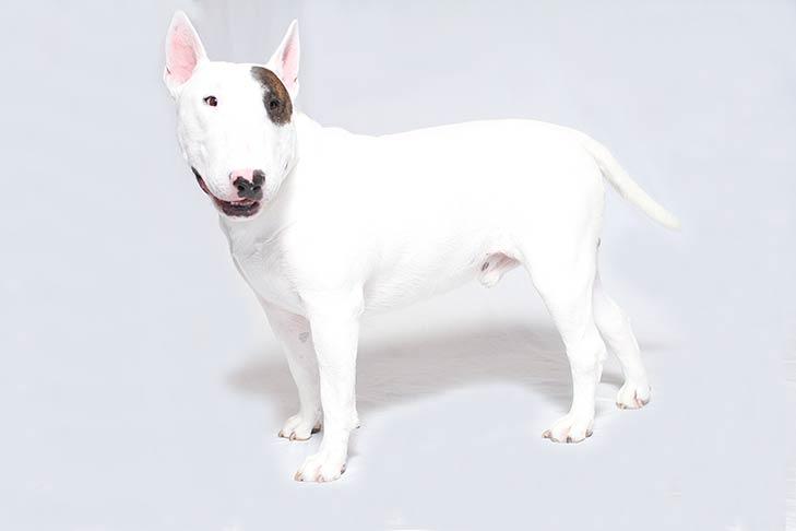 Bull Terriers pet insurance