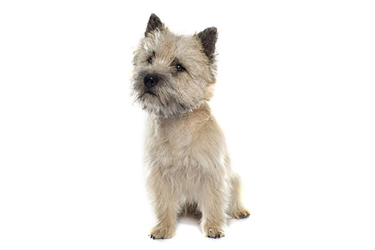 Cairn Terriers pet insurance