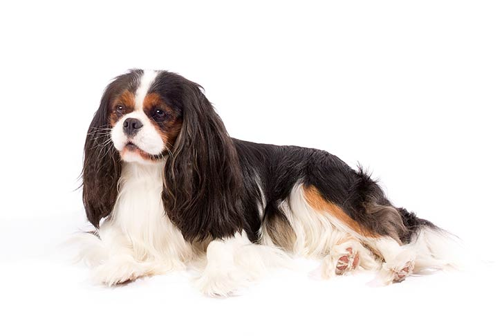 Cavalier King Charles Spaniels pet insurance