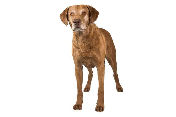 Chesapeake Bay Retrievers pet insurance
