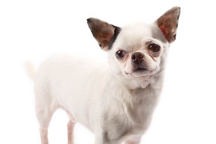 Chihuahuas pet insurance