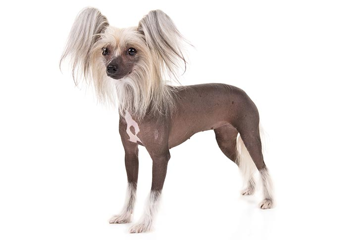 Chinese Crested pet insurance