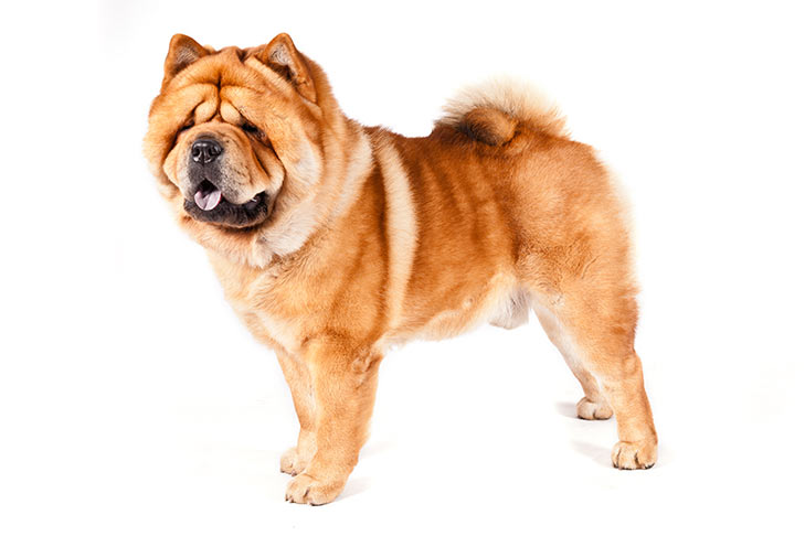 Chow Chows pet insurance