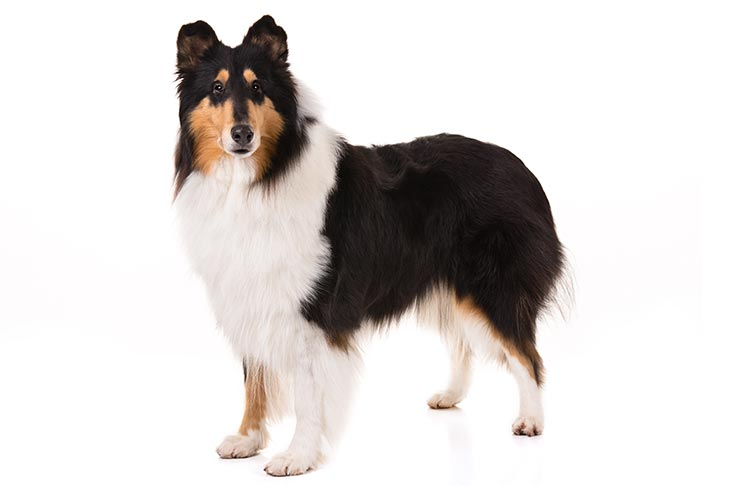 Collies pet insurance
