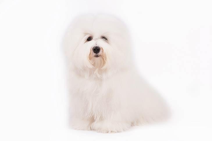 Coton de Tulear pet insurance