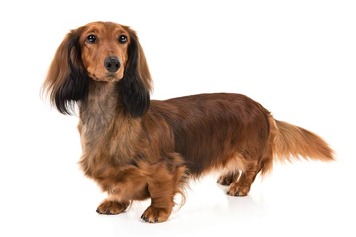 Dachshunds pet insurance
