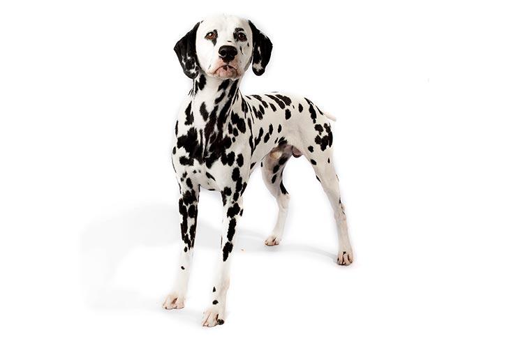 Dalmatians pet insurance