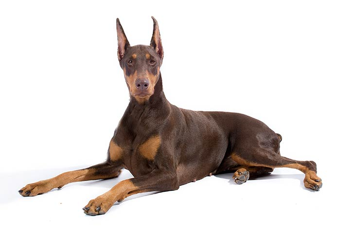 Doberman Pinschers pet insurance