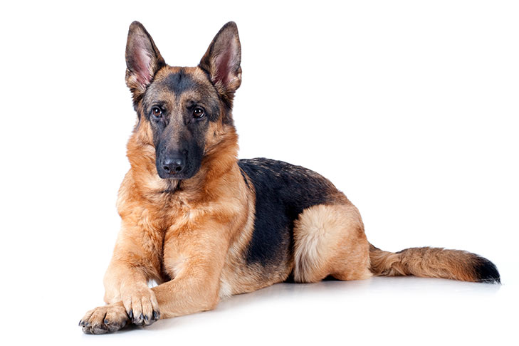German Shepherd dogs pet insurance