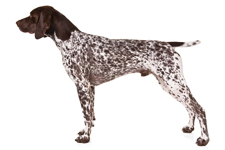 German Shorthaired Pointer pet insurance