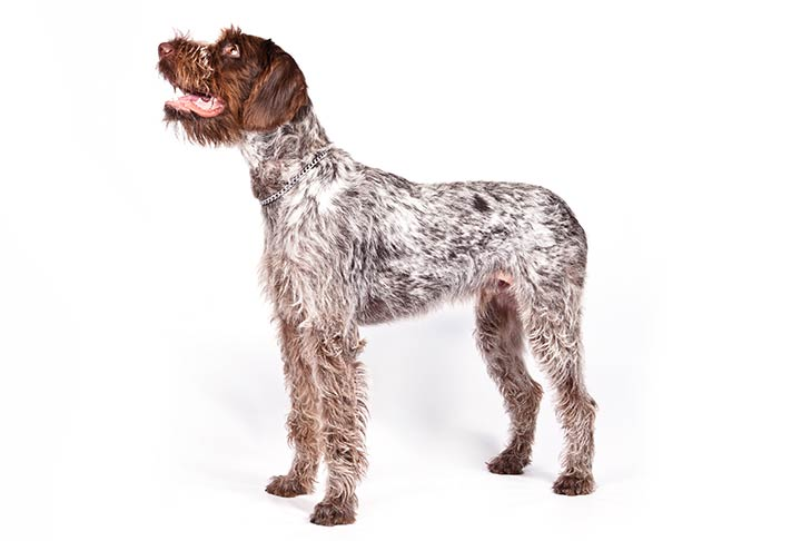 German Wirehaired Pointers pet insurance
