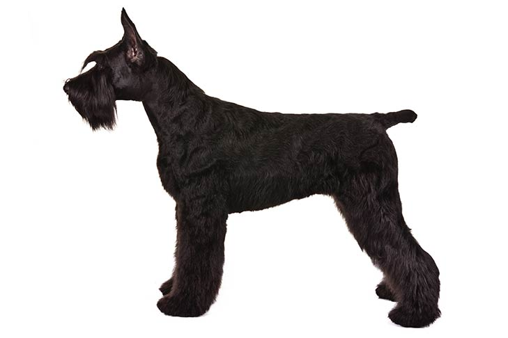 Giant Schnauzers pet insurance