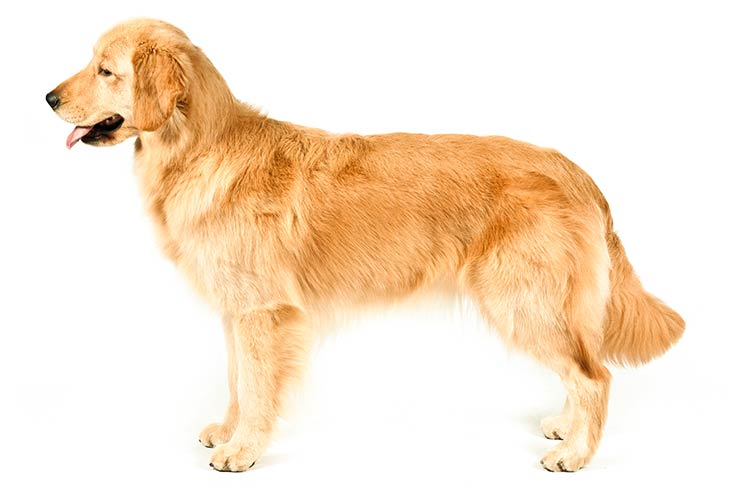 Golden Retrievers pet insurance
