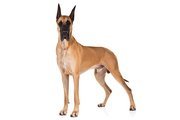 Great Danes pet insurance