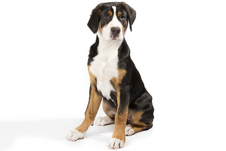 Greater Swiss Mountain Dogs pet insurance