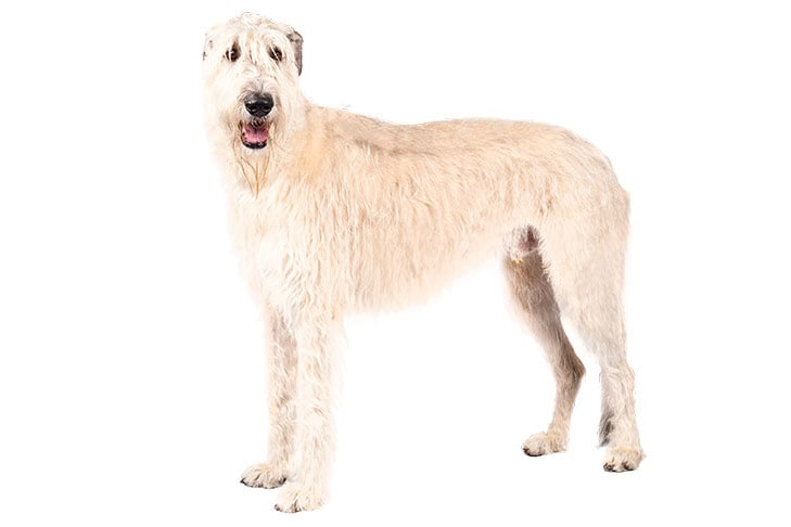 Irish Wolfhounds pet insurance