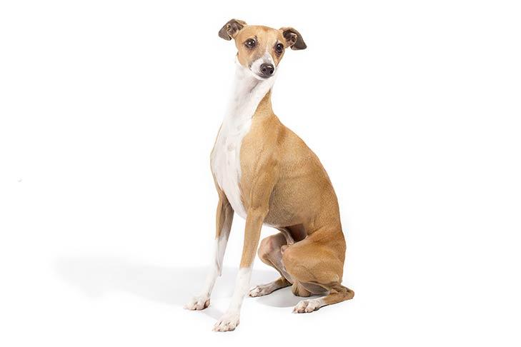 Italian Greyhounds pet insurance