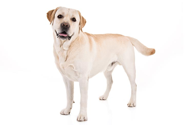 Labrador Retrievers pet insurance