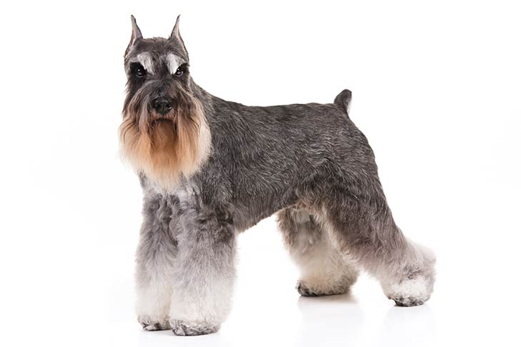 Miniature Schnauzers pet insurance