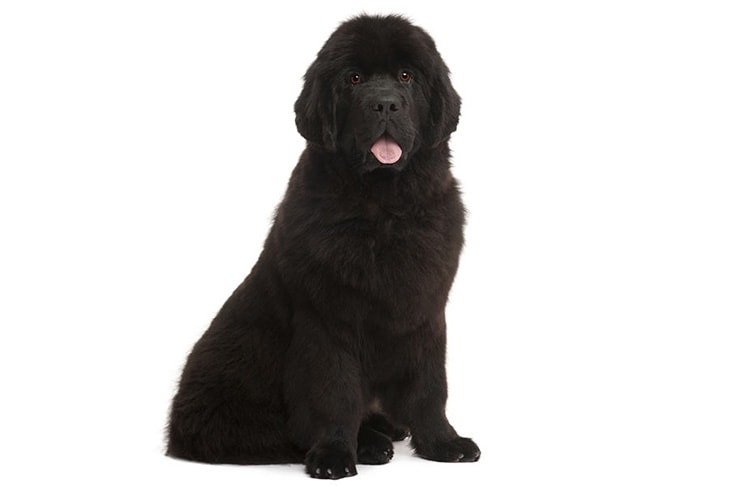 Newfoundlands pet insurance