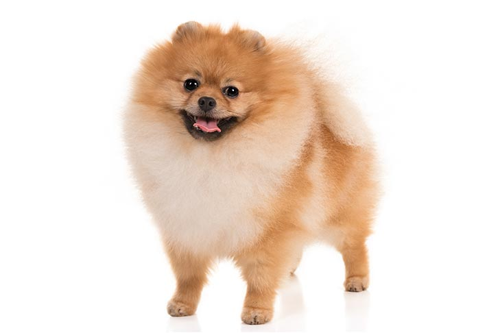 Pomeranians pet insurance