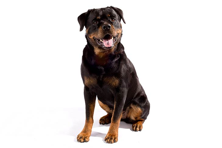 Rottweilers pet insurance
