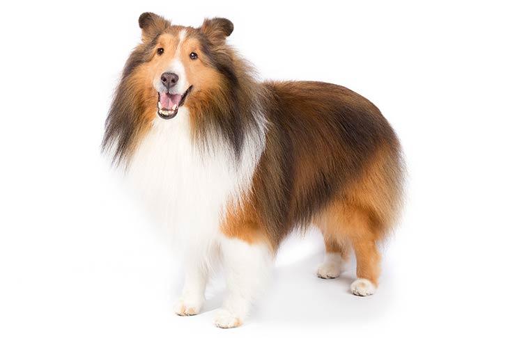 Shetland Sheepdogs pet insurance