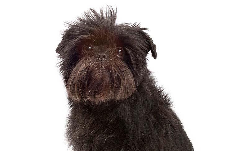 Affenpinschers pet insurance