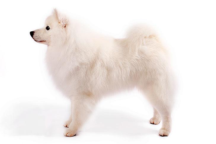 American Eskimo Dogs pet insurance