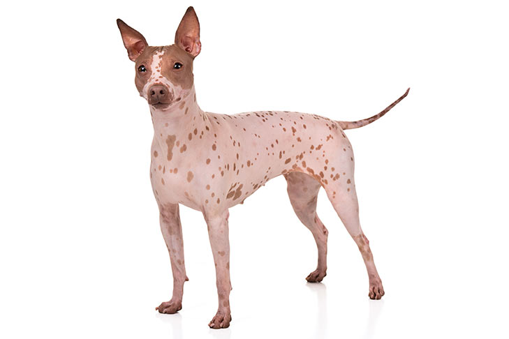 American Hairless Terriers Pet Insurance