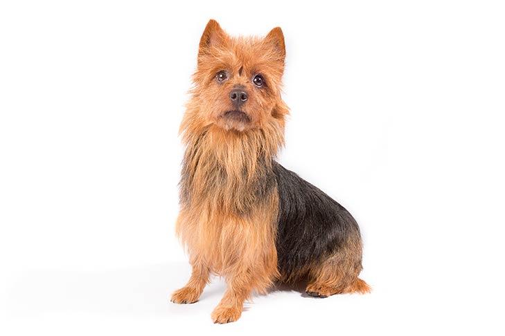 Australian Terriers Pet Insurance
