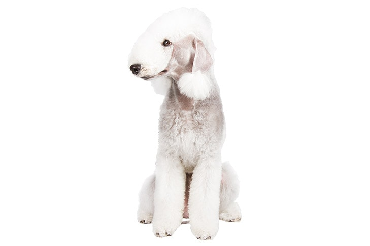 Bedlington Terriers pet insurance