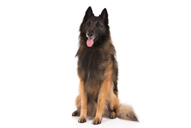 Belgian Tervuren pet insurance