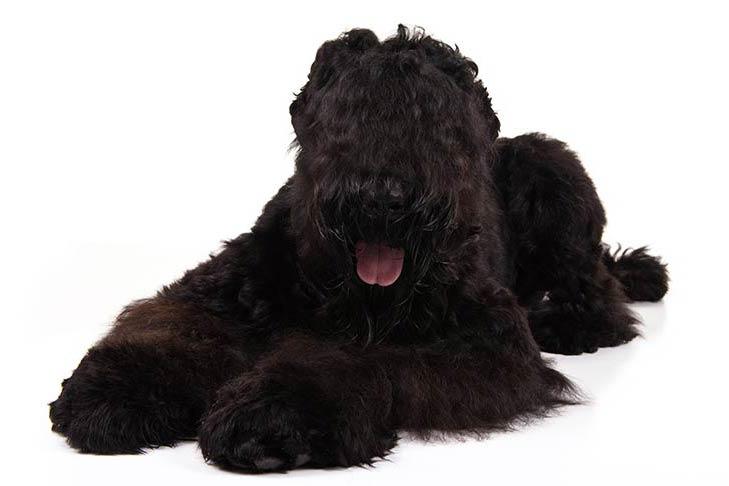 Black Russian Terriers pet insurance