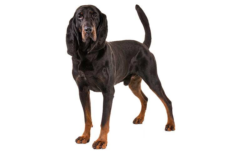 Black and Tan Coonhounds pet insurance