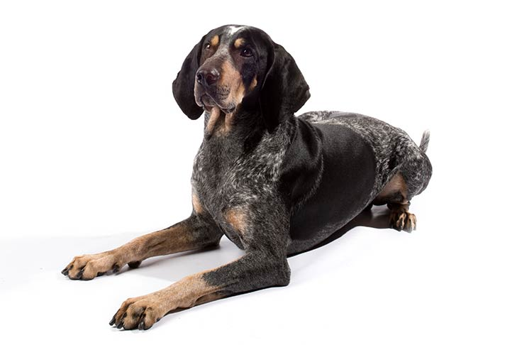 Bluetick Coonhounds pet insurance